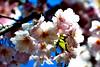 Flowering tree  009 DSC_3070 042113