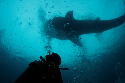 Diving with the whale sharks