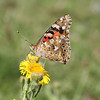 Distelvlinder / Painted Lady