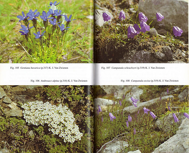 Gentiana bavarica, Androsace alpina, Campanula scheuchzeri, Campanula excisa (photographs by Kees Jan van Zwienen)
