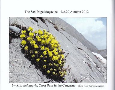 Picture Saxifraga pseudolaevis