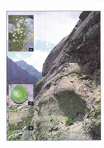 Back Cover, Summer 2003 (Saxifraga florulenta by Kees Jan van Zwienen, Saxifraga retusa by Kees Jan van Zwienen, Ibex at the habitat of Saxifraga florulenta and retusa in the Gordalasque valley by Kees Jan van Zwienen and S. bryoides by Malcolm McGregor)