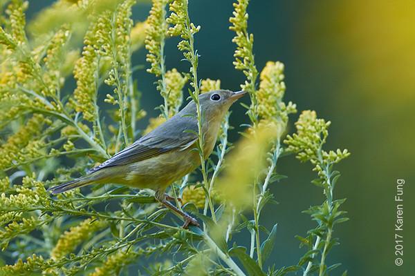 23 Sept Mystery Warbler