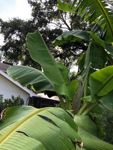 """Leaves and peduncle/flag leaf on """"goldfinger"""""""