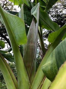 """Peduncle/flag leaf of """"Goldfinger"""""""