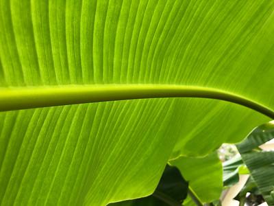 """leaf of """"goldfinger"""""""