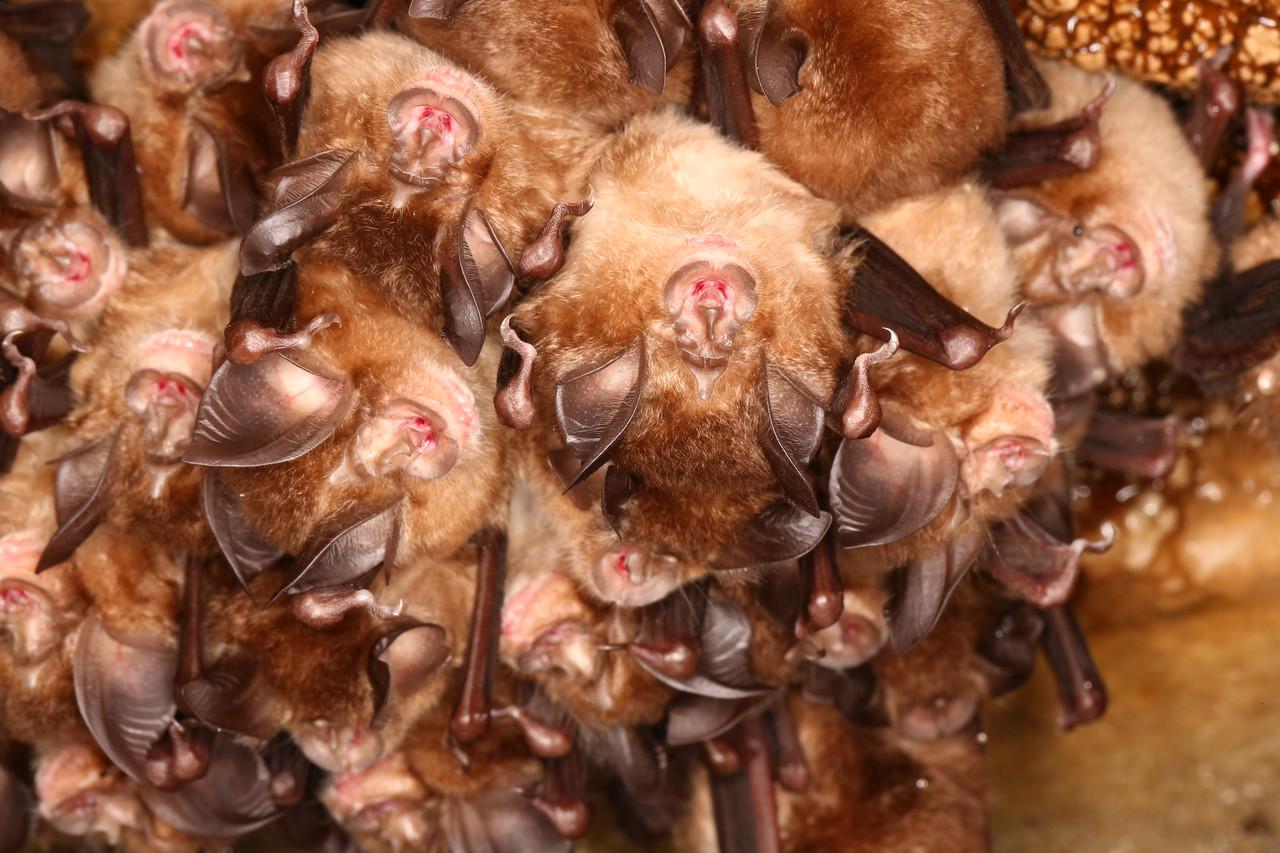 Colony of Little Japanese horseshoe bat