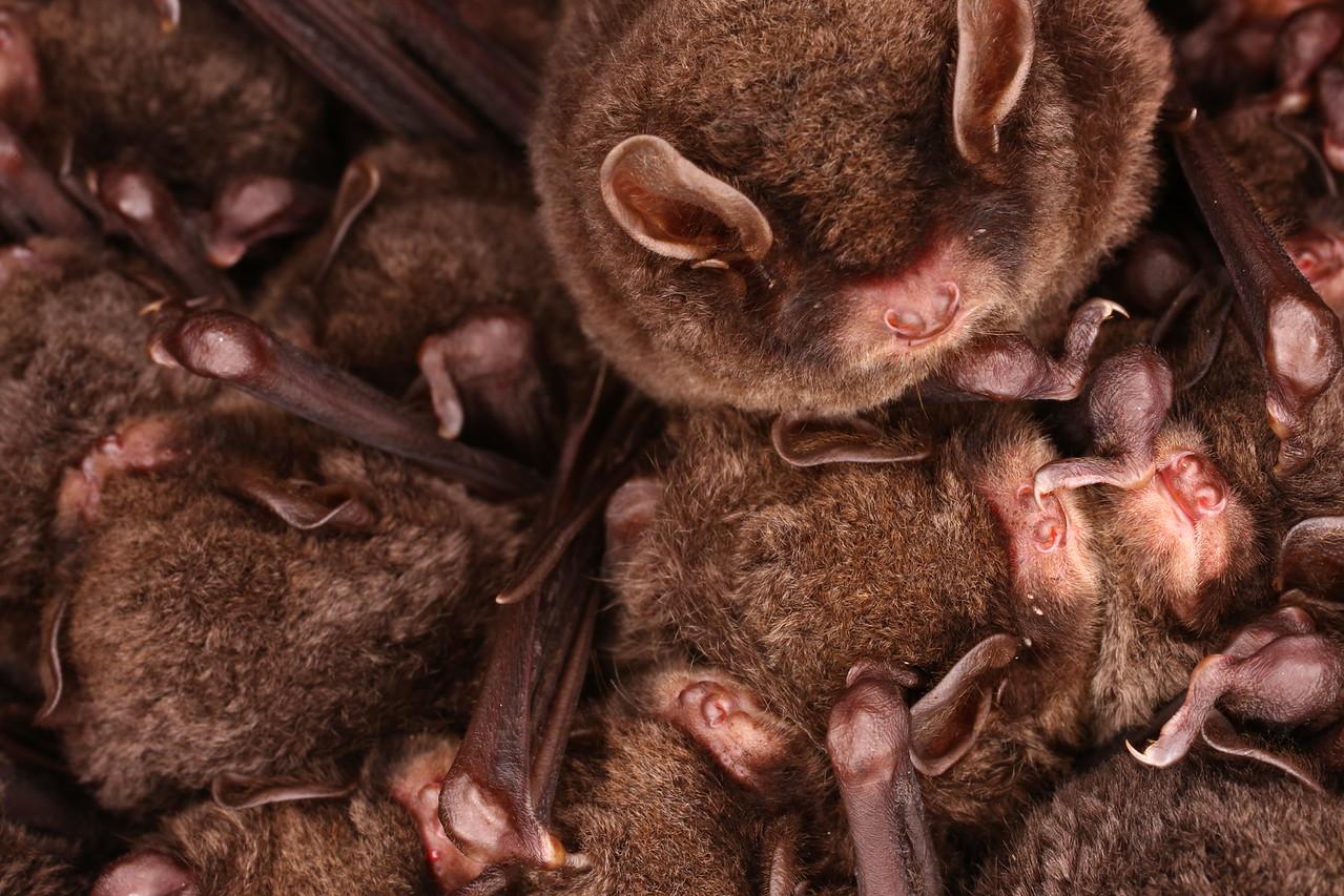 Eastern Bent-winged Bat2