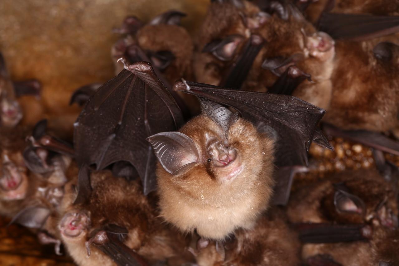 Colony of Little Japanese horseshoe bat3