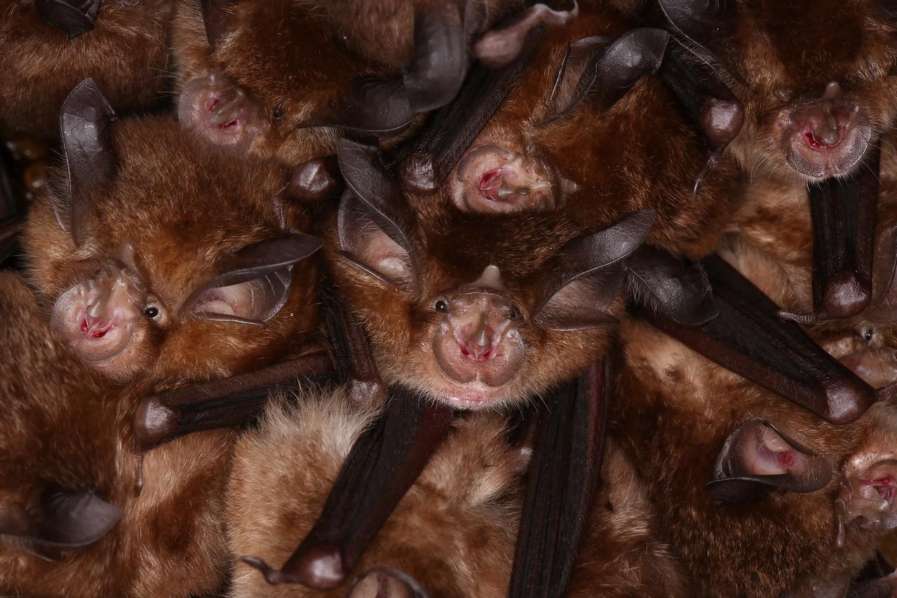 Colony of Little Japanese horseshoe bat4