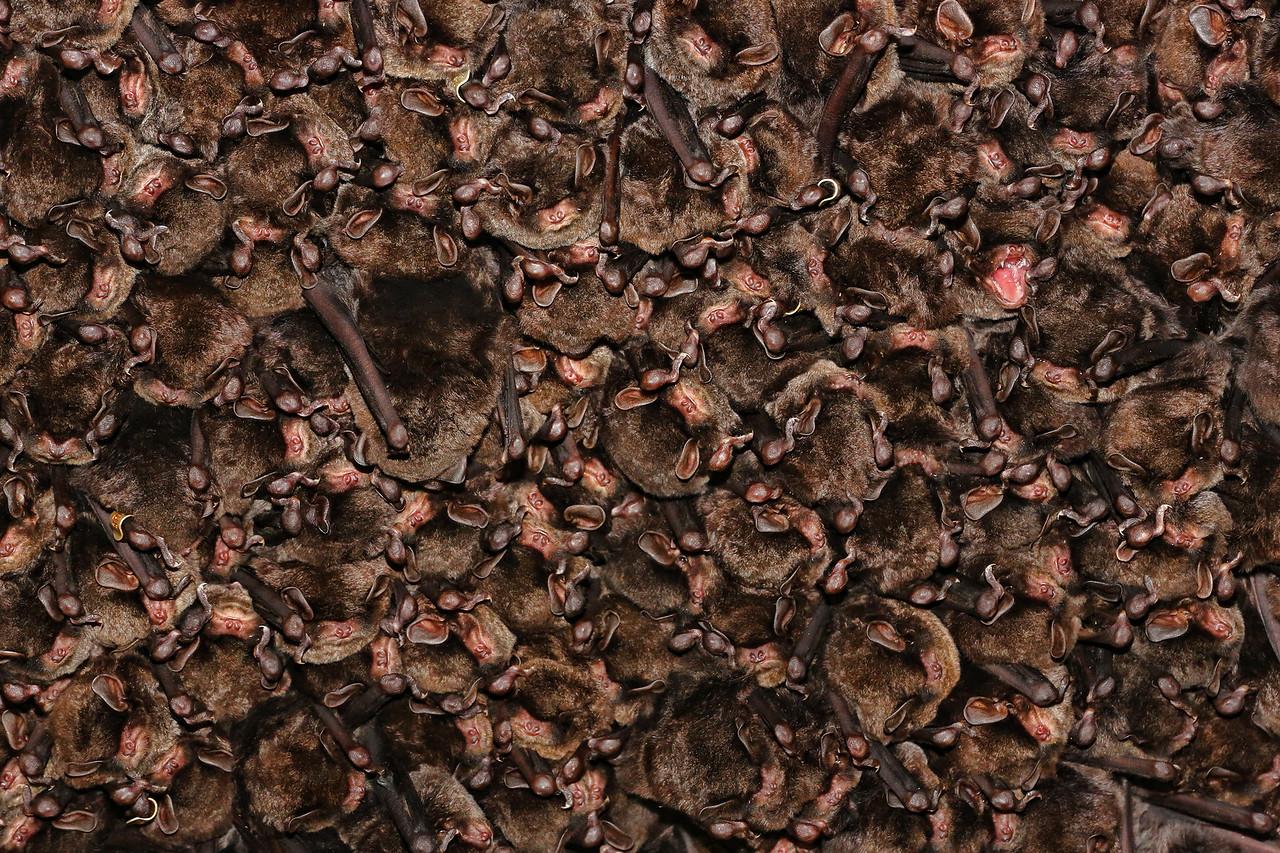 Natinogeo-Colony of Eastern Bent-winged Bat3