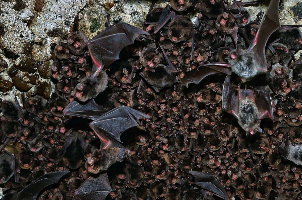 Colony of Eastern Bent-winged Bat6