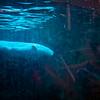 Beluga whales Mystic Aquarium Mystic CT