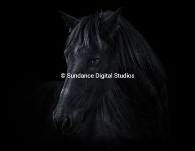 Equine Study in Black & Silver