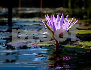 NY - Jambalaya Flower