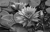 Waterlillies and Bud