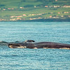 Fin whale off the south coast of Pico