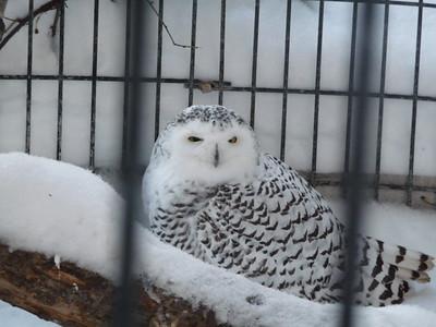 Snow Owl Alaska Zoo