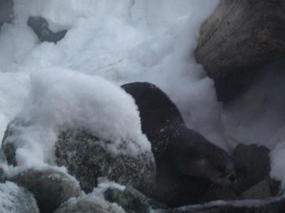 River Otter Alaska Zoo