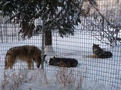 Arctic Wolves Alaska Zoo