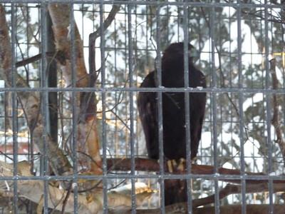 Golden Eagle Alaska Zoo
