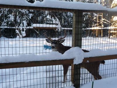 Sitka Black-Tailed Deer Alaska Zoo