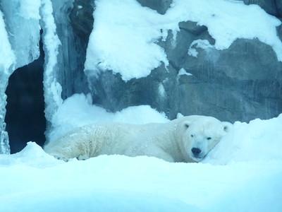 Polar Bear Alaska Zoo