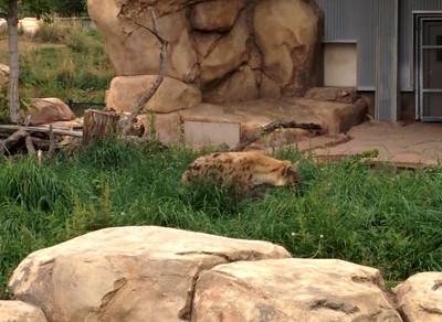 28 - Denver Zoo - Stalking Hyena