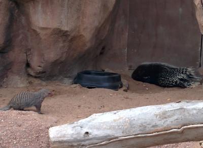 29 - Denver Zoo - Mongoose and Porcupine