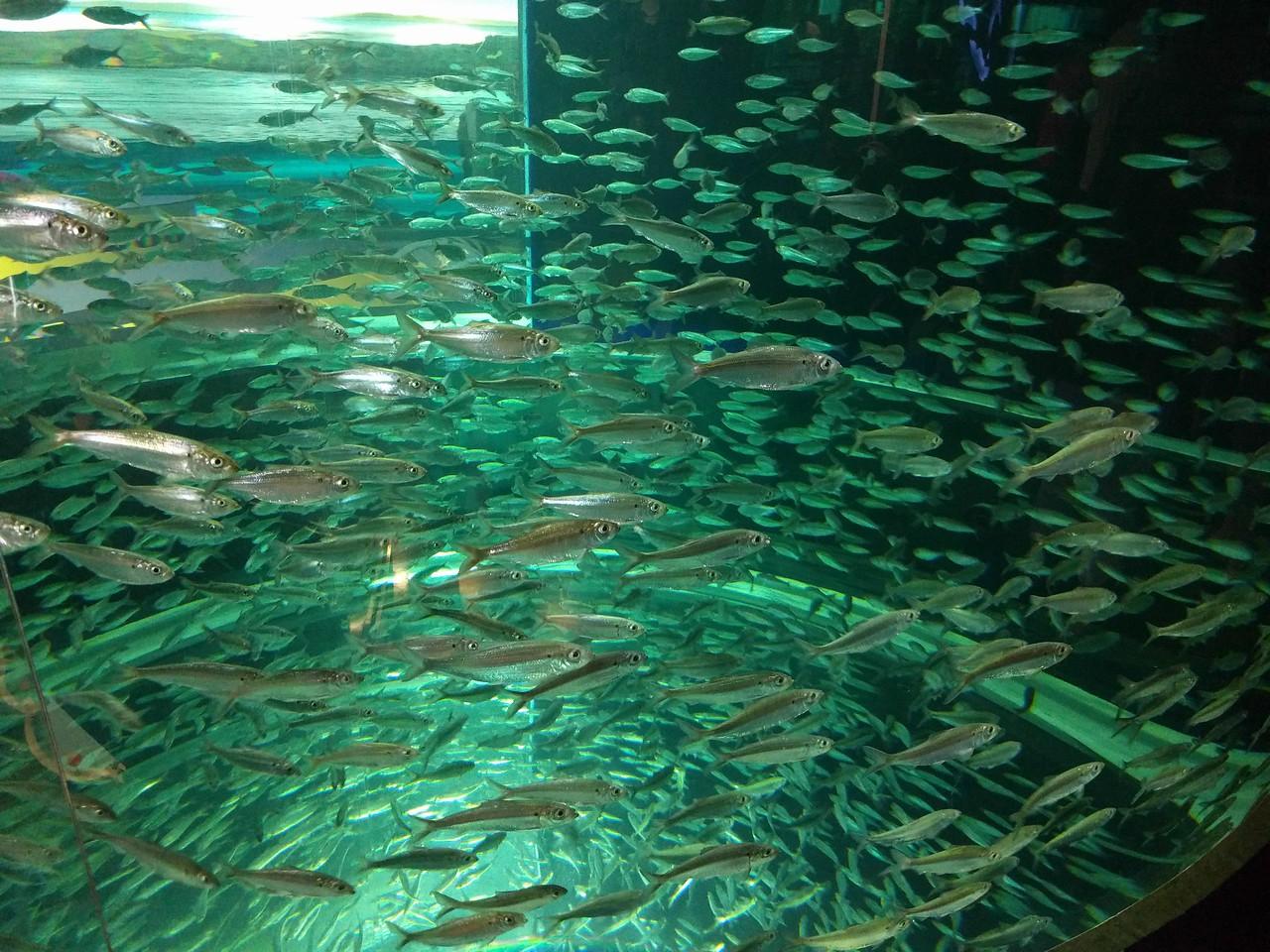 028 - Toronto - Aquarium - Lots of Alewives