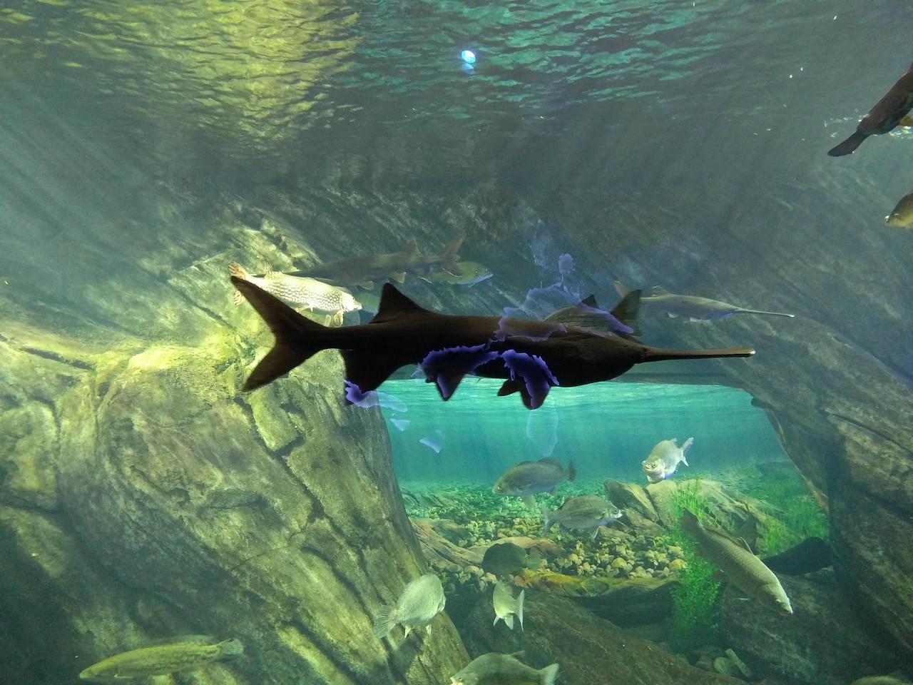 029 - Toronto - Aquarium - Sawfish