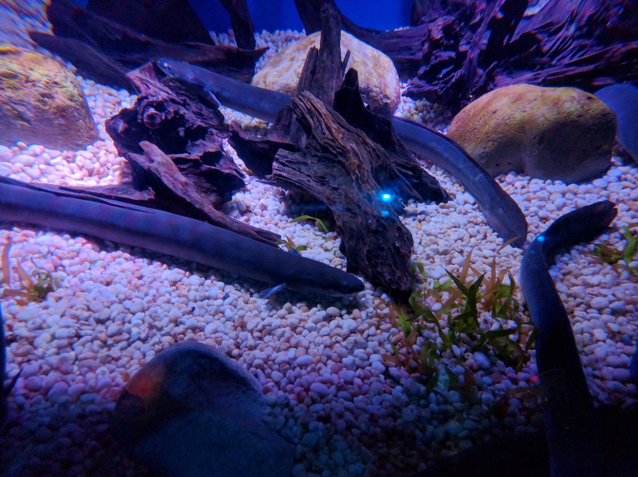 030 - Toronto - Aquarium - Wolf Eels