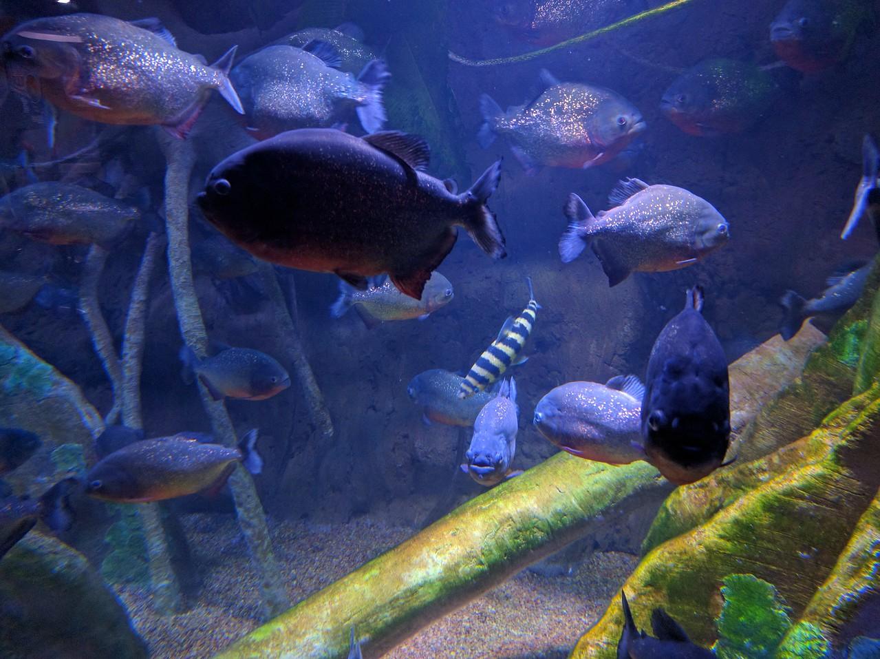 046 - Toronto - Aquarium - Red-Bellied Piranhas