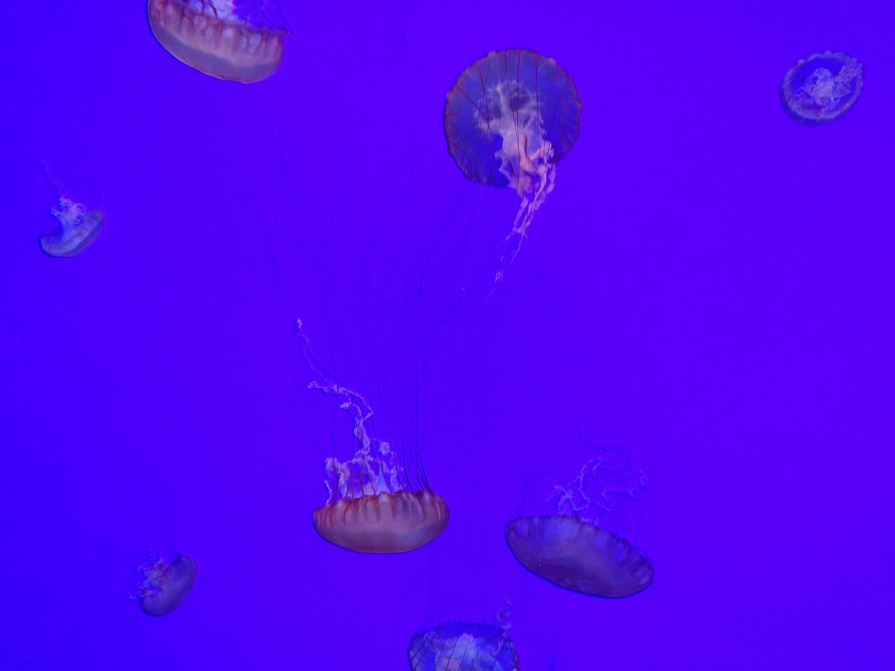 048 - Toronto - Aquarium - Jellyfish 1