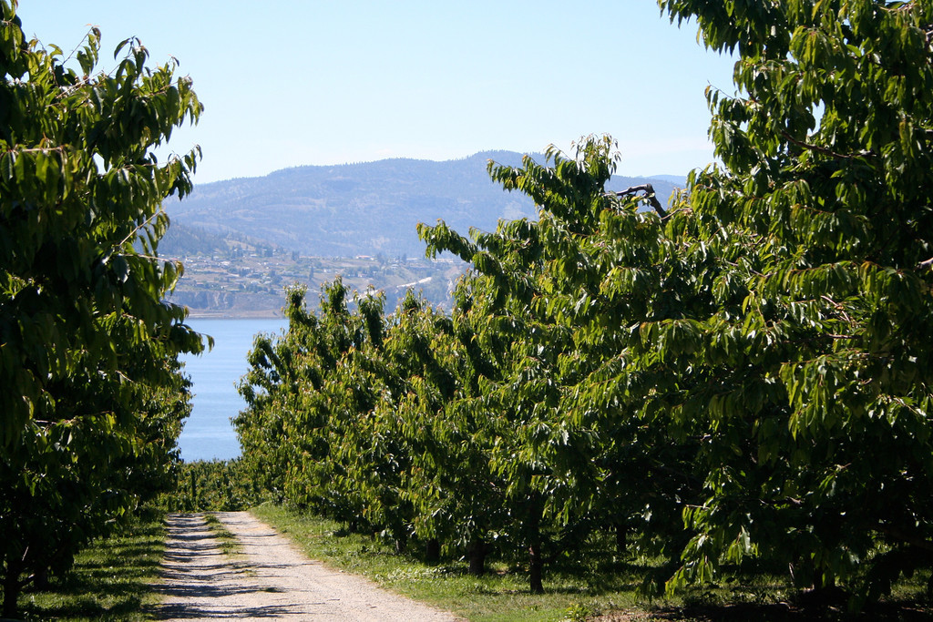The Okanagan is also known as the fruit basket of Canada because of the many orchards that are located through the valley.