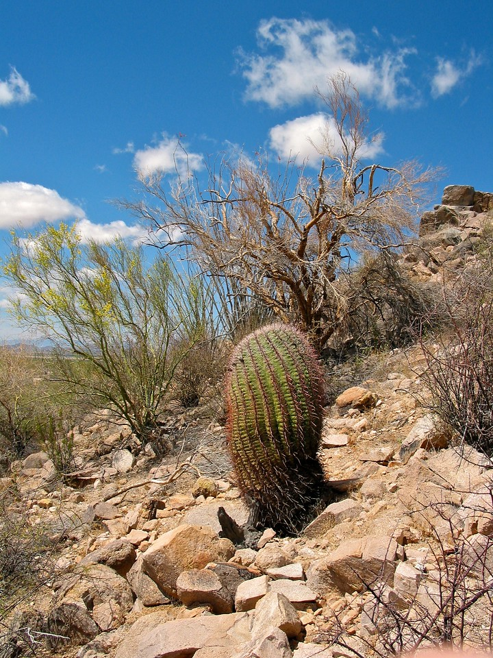 The park gets its name from the saguaro, a large cactus which is native to the region. Many other kinds of cactus, including barrel, cholla, and prickly pear, are abundant in the park. One endangered animal, the Lesser Long-nosed Bat, lives in the park part of the year during its migration, together with one threatened species, the Mexican Spotted Owl.
