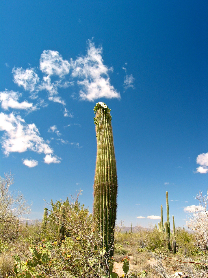 The night blooming white and yellow flowers appear April through June and the sweet, ruby-colored fruit matures by late June. Saguaro flowers are self incompatible thus require cross pollination. Large quantities of pollen are required for complete pollination as there are numerous ovules. A well-pollinated fruit will contain several thousand tiny seeds.