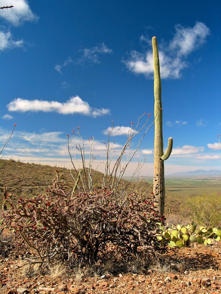 Saguaros have a relatively long life span. They take up to 75 years to develop a side arm. A saguaro without arms is called a spear.