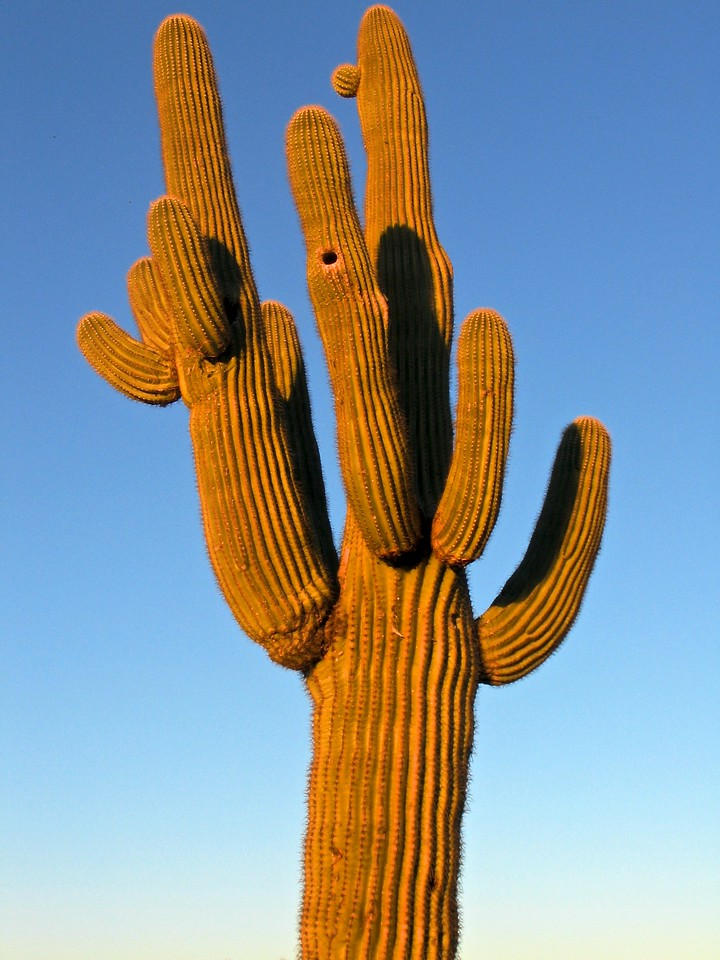 Native birds such as Gila woodpeckers, purple martins, house finches, and gilded flickers live inside holes in saguaros. Flickers excavate larger holes higher on the stem.[4] The nest cavity is deep, the parents and young entirely hidden from view.