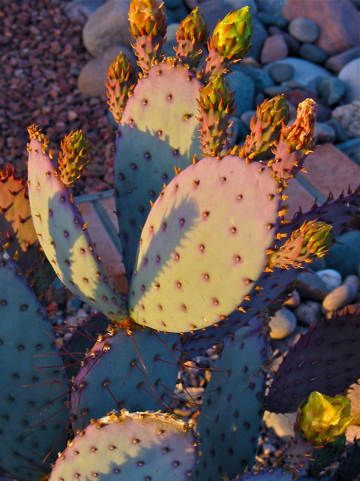 Purple prickly pear cactus.