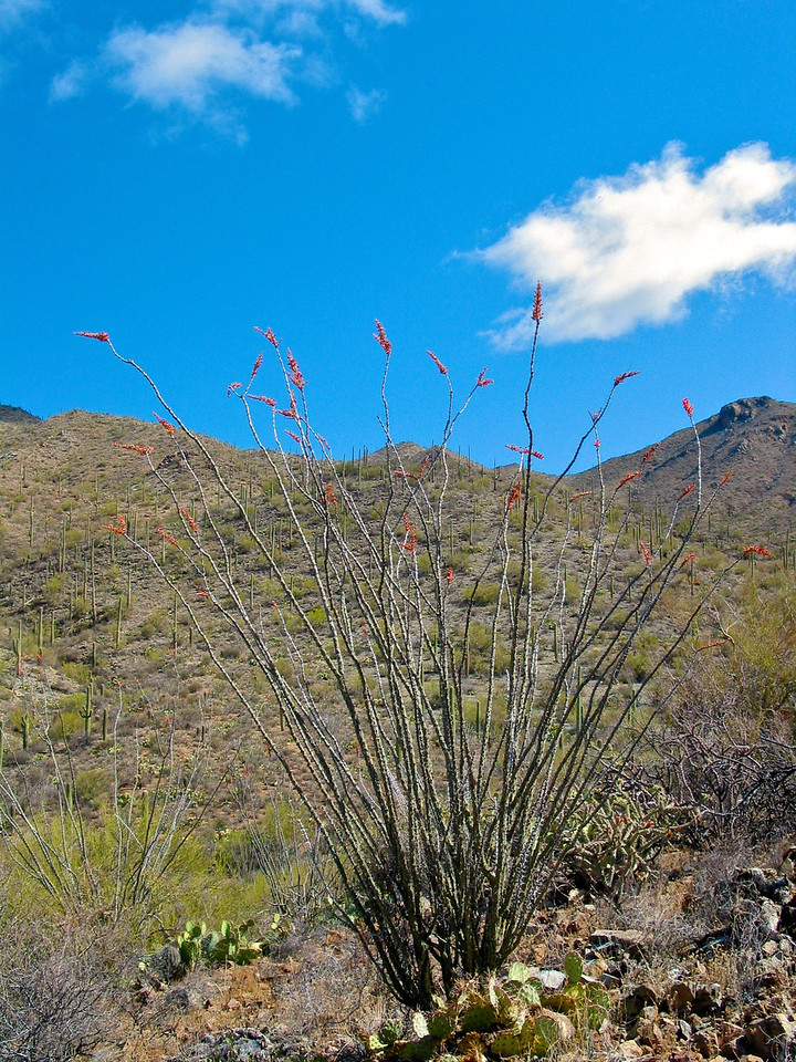 For much of the year, the plant appears to be an arrangement of large spiny dead sticks, although closer examination reveals that the stems are partly green. With rainfall the plant quickly becomes lush with small (2-4 cm) ovate leaves, which may remain for weeks or even months.<br /> <br /> The bright crimson flowers appear especially after rainfall in spring, summer, and occasionally fall. Flowers are clustered indeterminantly at the tips of each mature stem.