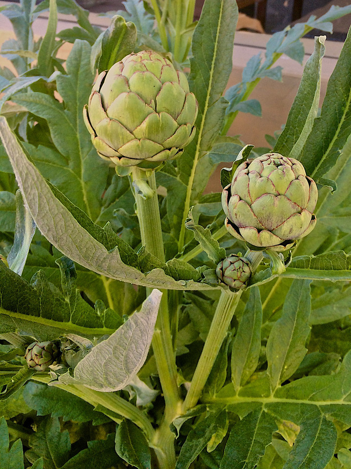 Root 246 grows many of its own herbs right in front, including these artichokes.