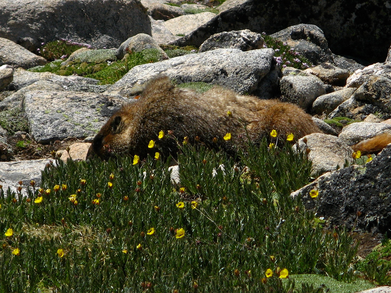 Marmots can be found everywhere near the peak.
