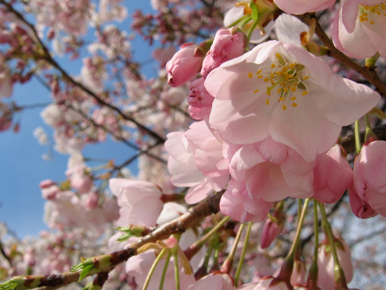 Secretary of State Philander C. Knox wrote a letter expressing the regret of all involved to the Japanese Ambassador. Takamine responded to the news with another donation for more trees, 3020 in all, of a lineage taken from a famous group of trees along the Arakawa River in Tokyo and grafted onto stock from Itami, Hyogo Prefecture. On February 14, 1912, 3020 cherry trees of twelve cultivars were shipped on board the Awa Maru and arrived in D.C. via rail car from Seattle on March 26