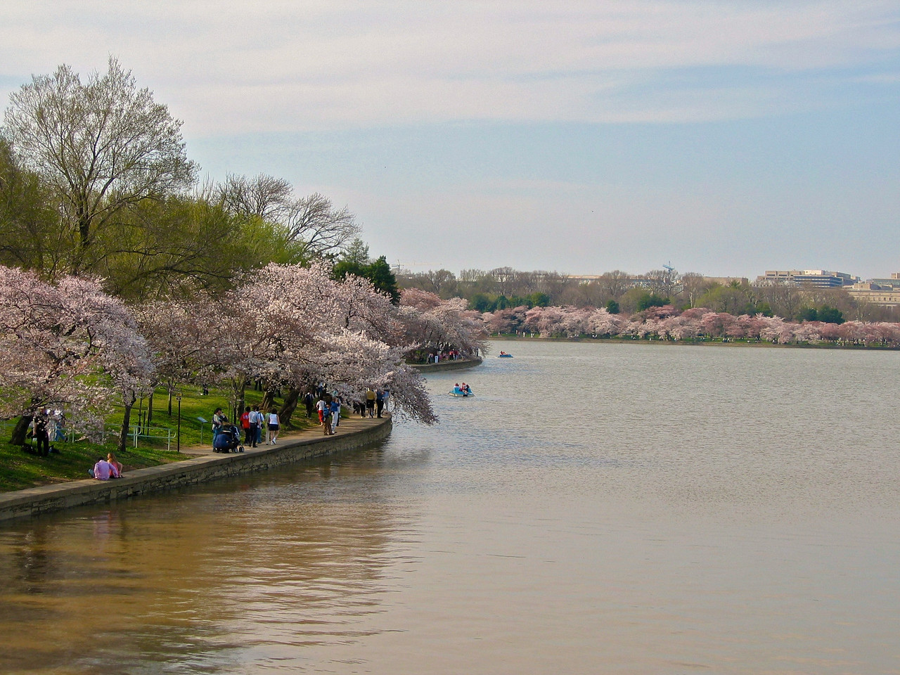 The Kwanzan grows primarily in East Potomac Park and comes into bloom two weeks after the Yoshino. It produces clusters of clear pink double blossoms. East Potomac Park also has Fugenzo, which produces rosy pink double blossoms, and Shirofugen, which produces white double blossoms that age to pink
