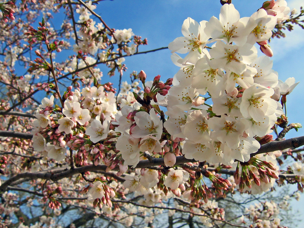 On August 30, 1909, the Embassy of Japan in Washington, D.C., informed the U.S. Department of State that the city of Tokyo intended to donate 2000 cherry trees to the United States to be planted along the Potomac. These trees arrived in Washington, D.C., on January 6, 1910. However, the inspection team from the Department of Agriculture found that the trees were infested with insects and nematodes, concluding that the trees had to be destroyed to protect local growers. President Taft gave the order to burn the trees on January 28.