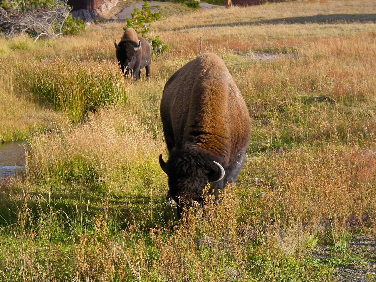 The Yellowstone Park Bison Herd is the largest public herd of American Bison in the United States.  Bison once numbered between 30 and 60 million individuals throughout North America, and Yellowstone remains one of their last strongholds. Their populations had increased from less than 50 in the park in 1902 to 4,000 by 2003. It reached a peak in 2005 with 4,900 animals. The number dropped to 3,000 in 2008 after a harsh winter and controversial brucellosis management sending hundreds to slaughter. The Yellowstone Park Bison Herd is believed to be one of only four free roaming and genetically pure herds on public lands in North America.
