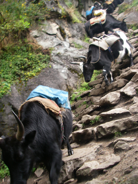 """In Khumbu Valley even animals should know basic """"alpine techniques"""""""