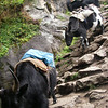"In Khumbu Valley even animals should know basic ""alpine techniques"""