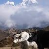Yaks<br /> Thamserku (6.608 m) is visible behind.